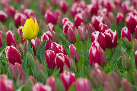 individualism: Outstanding. Single bright yellow tulip surrounded by red tulips.