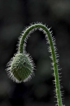 Beautiful Greenish Poppy bud