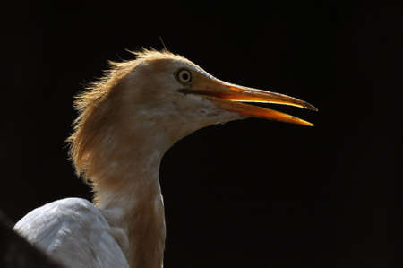 Noida, Uttar Pradesh, India- September 1, 2013: A Young Cattle Egret (Bubulcus ibis) close-up of head during breeding season with orange pullme on its head and back at Noida, Uttar Pradesh, India.The cattle egret (Bubulcus ibis) is a cosmopolitan species