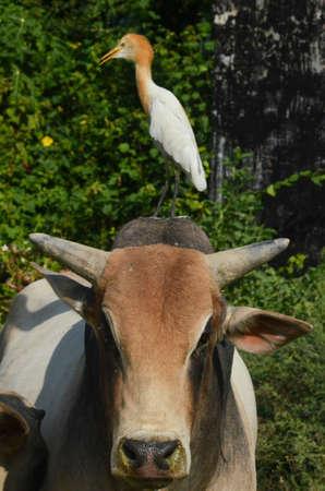 Noida, Uttar Pradesh, India- September 19, 2014: Cattle Egret (Bubulcus ibis) during breeding season sitting on a bull at Noida, Uttar Pradesh, India.The cattle egret (Bubulcus ibis) is a cosmopolitan species of heron (family Ardeidae) found in the tropic