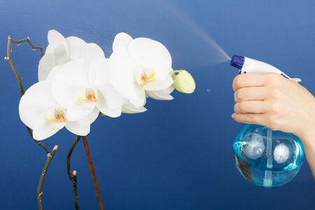 spaying: Woman trimming orchids Stock Photo