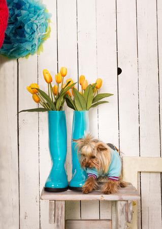 rain boots: Perrito lindo que se sienta por las botas de lluvia azules Foto de archivo