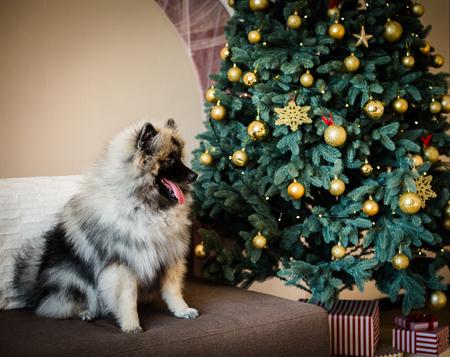 Keeshondhondzitting dichtbij de verfraaide Kerstboom