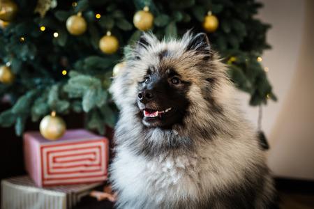 Keeshond dog sitting near the decorated Christmas tree Stock Photo