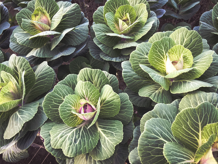 Green decorative cabbages growing in the garden