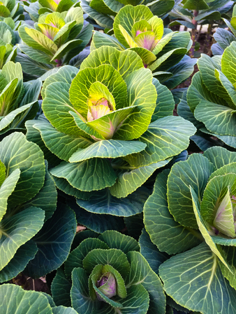 Green decorative cabbages growing in the garden 写真素材 - 106214023