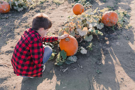 Fall harvest background with a boy picking up pumkings on a family farm Reklamní fotografie