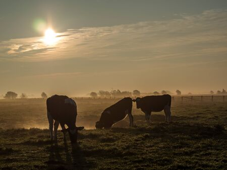 Cows in early fog