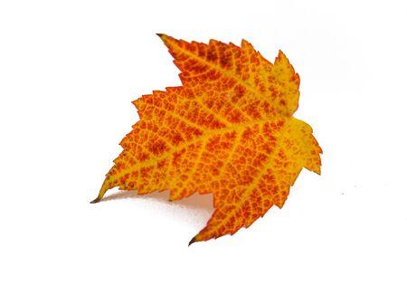 maple leaf insulated Reklamní fotografie