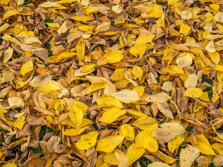 Yellow leaves autumn
