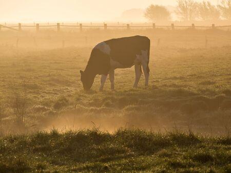 Cow in early fog Banco de Imagens