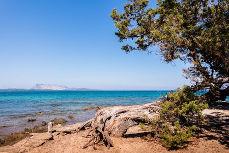 Sardinian pine tree on the coast Imagens