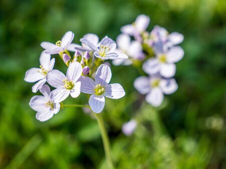 Meadow foam herb,Cardamine pratensis