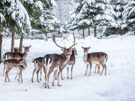 Fallow deer in the winter forest Foto de archivo - 130261002