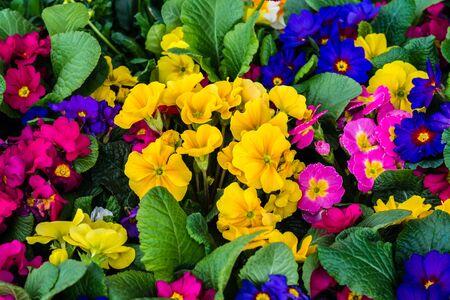 Primula in the Spring
