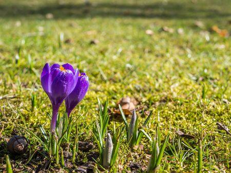 Crocuses on a spring meadow Фото со стока - 131093057