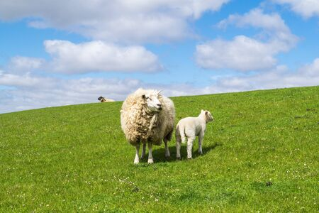 Sheep on the dike at the North Sea Stock Photo