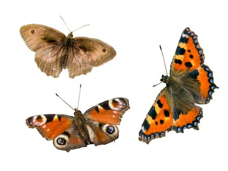 Noble Butterfly Stock Photos And Images - 123RF