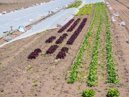 Salad Field in the garden