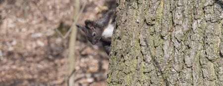 Panorama Young squirrel in the forest