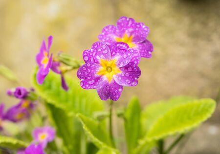 Spring flowers of Primula Juliae