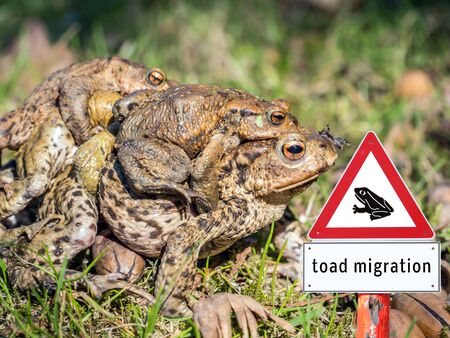 Warn Sign Toad migration Stock Photo