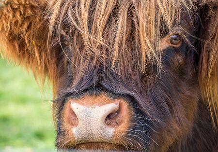 Portrait jeune bétail des Highlands écossais