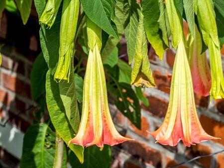 trumpet flower in the garden