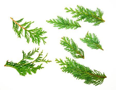 Collage de ramas de ciprés de árboles de vida aislado
