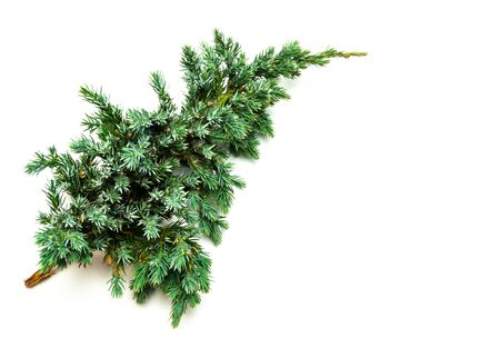 Common juniper isolated on white background