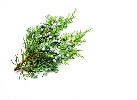 Juniper isolated on white background Фото со стока