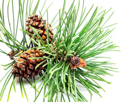 Pine with pinecone isolated on white background
