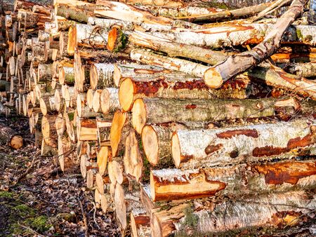 Birch tree trunks stacked on the edge of the forest