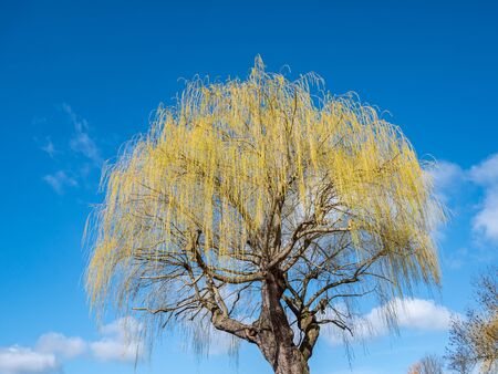 Willow tree blooms in spring
