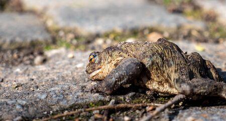 dead frog crossing a road