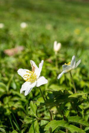 Anemone nemorosa in a meadow