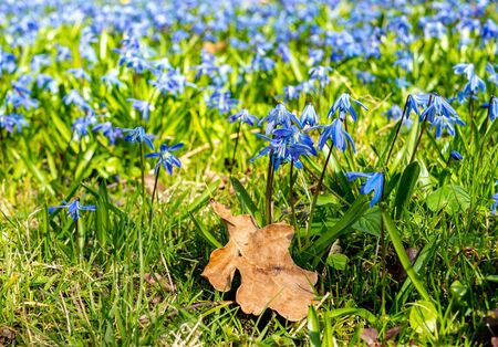 Siberian squill Scilla siberica blooms in spring