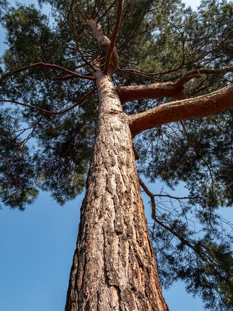 trunk of a pine tree in the park