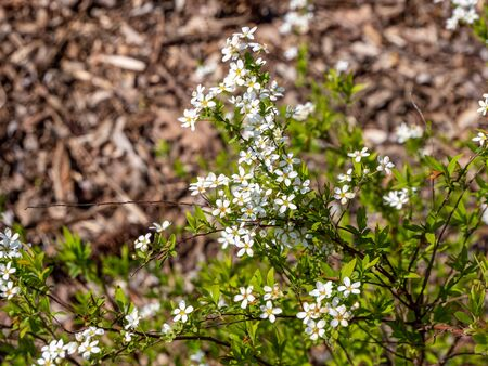 Spiraea is blooming in the park Фото со стока