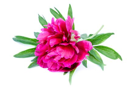 Pink peony isolated on white background Foto de archivo