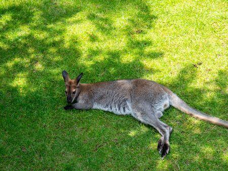 Kangaroo basks in the zoo
