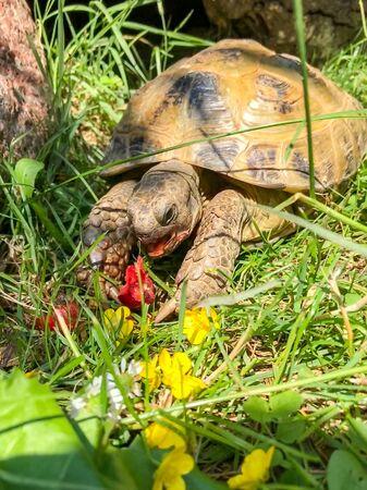 Tortoise eating in the garden