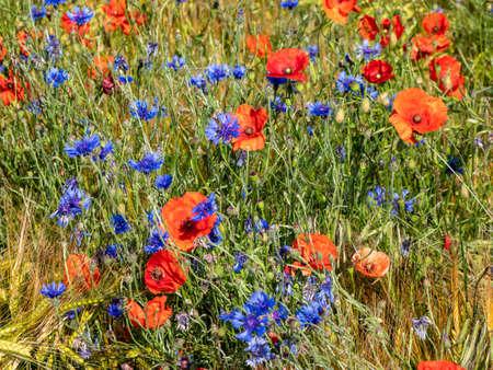 Poppy field with cornflowers in summer Stock fotó