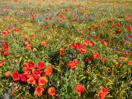Poppy field in summer background
