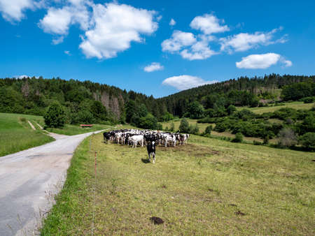 Dirt road in the Thuringian Forest with cows Stock fotó