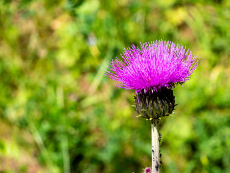 Common thistle flowers in the garden