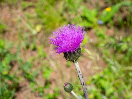 Thistle blooms purple in the garden