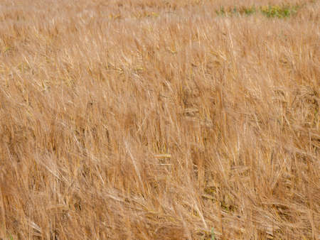 corn Background grain pattern texture