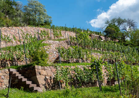 View of the Saxon vineyards