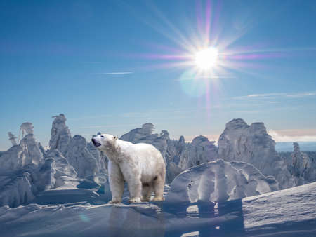 Polar bear in the arctic climate change global warming